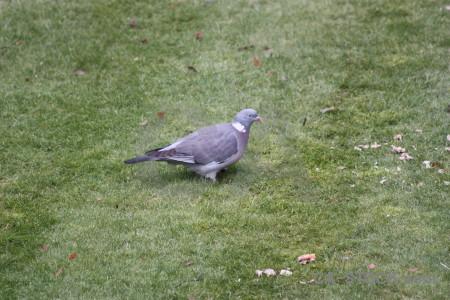 Pigeon dove grass bird animal.