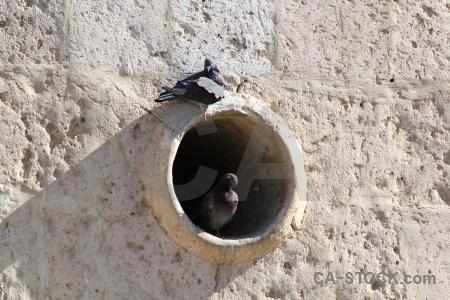 Pigeon peru yanahuara arequipa animal.