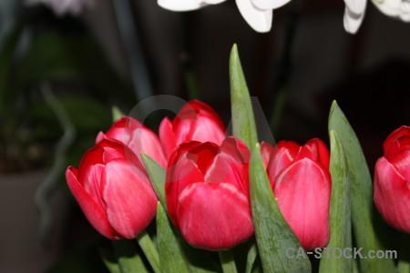 Pink bouquet green flower tulip.