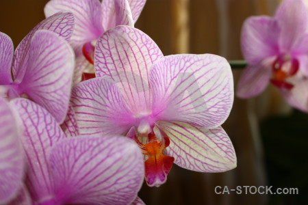 Pink brown orchid flower plant.