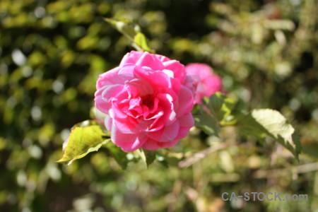 Pink green red flower rose.