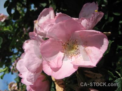 Pink plant flower rose.