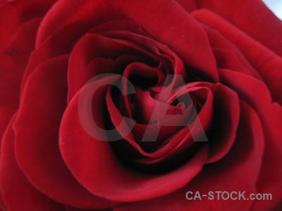Pink red plant flower rose.