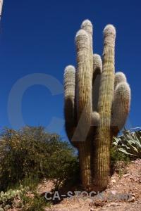 Plant argentina cactus quebrada de humahuaca south america.