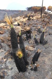 Plant ash europe montgo fire burnt.