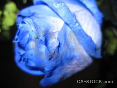 Plant blue rose flower green.