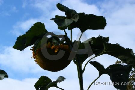 Plant flower blue sunflower.