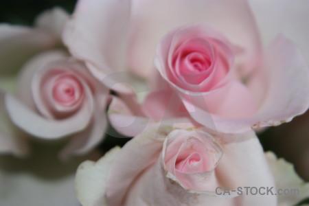 Plant flower gray rose pink.