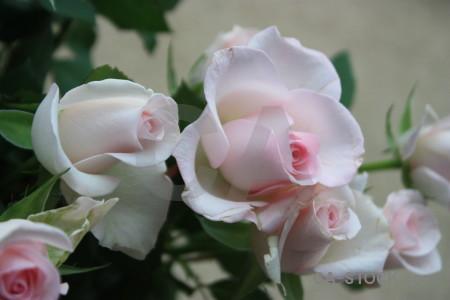 Plant flower pink green rose.