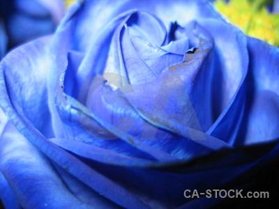 Plant flower rose blue.