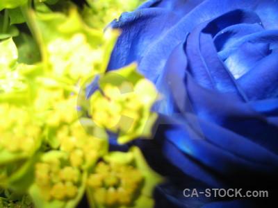 Plant flower rose blue yellow.