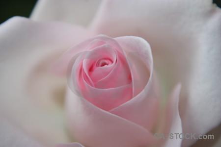 Plant flower rose gray pink.