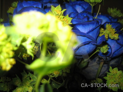Plant flower rose green blue.
