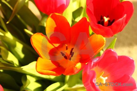 Plant flower tulip pink yellow.