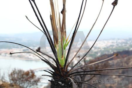 Plant javea montgo fire ash burnt.