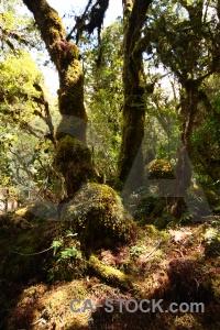 Plant new zealand moss south island tree.
