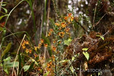 Plant peru andes south america orchid.