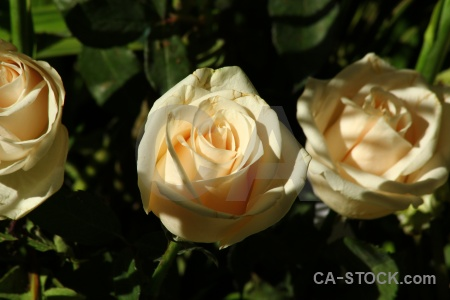 Plant petal flower south america peru.