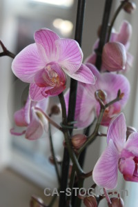 Plant pink flower purple orchid.