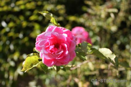 Plant pink flower red rose.