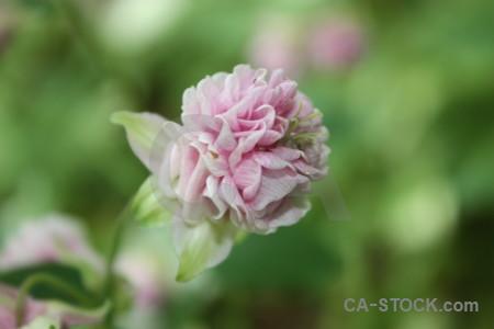 Plant pink green flower.