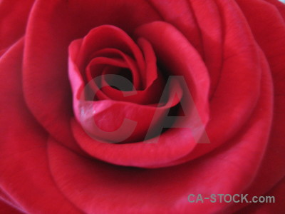 Plant pink rose flower red.
