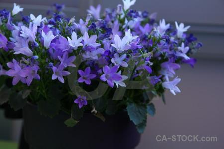 Plant pot flower blue.