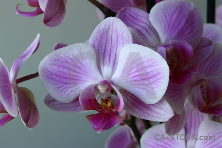 Plant purple flower orchid.
