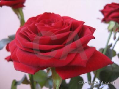 Plant red flower rose white.