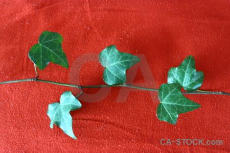 Plant red leaf ivy green.