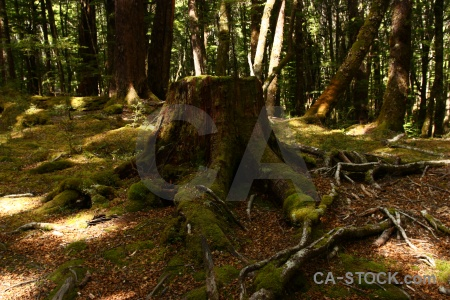 Plant root stump forest new zealand.