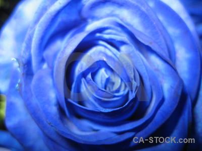 Plant rose blue flower.