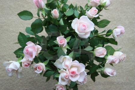Plant rose flower green.