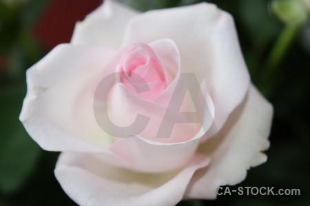 Plant rose flower pink.