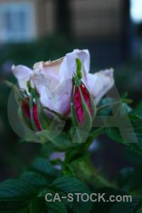Plant rose green flower.