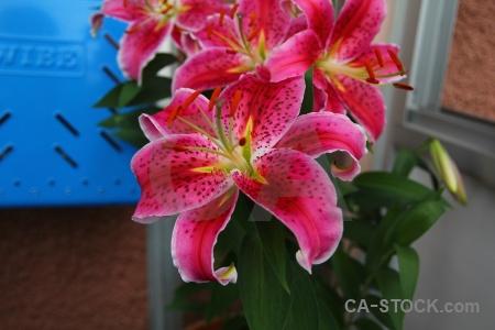 Plant sweden karlskrona europe lily.