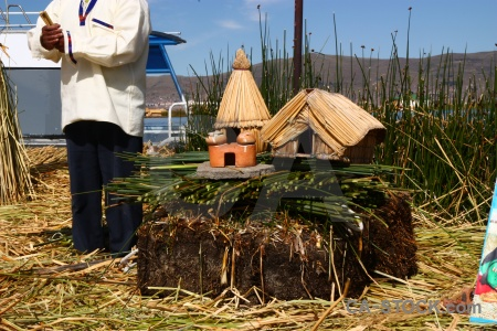 Plant totora reed water uros floating island.