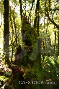 Plant tree south island moss forest.