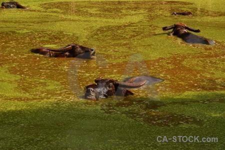 Plant wat pa luangta maha bua yannasampanno tiger temple pool buffalo.