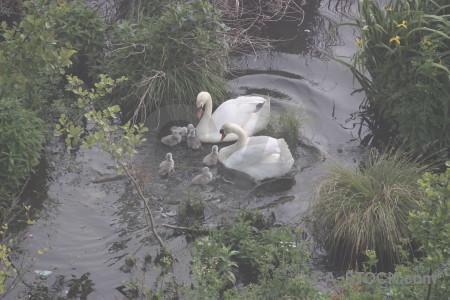 Pond bird swan animal aquatic.