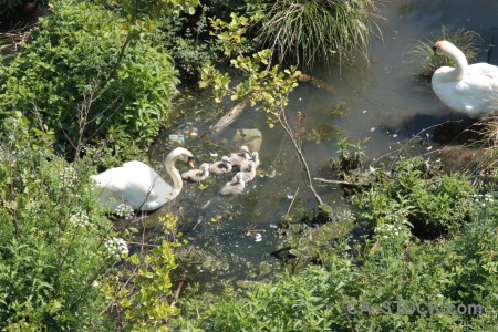 Pond water swan aquatic animal.