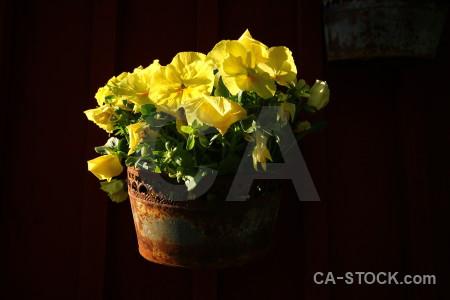 Pot flower black yellow plant.