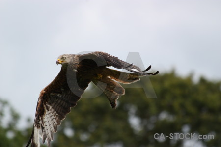 Predator bird flying sky animal.
