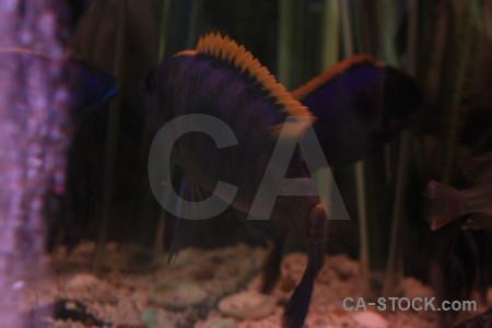 Purple animal fish black.