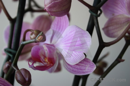 Purple flower orchid plant.