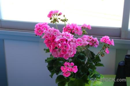 Purple plant pot flower pink.