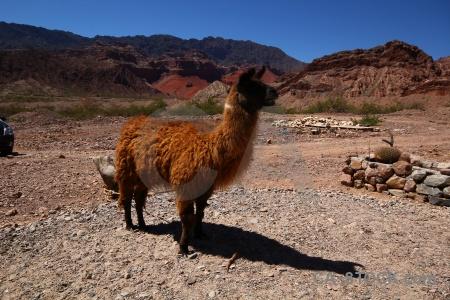 Quebrada de las conchas quebrada cafayate argentina south america llama.