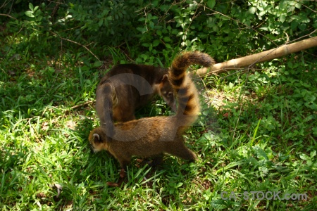 Raccoon argentina animal south america coatis.