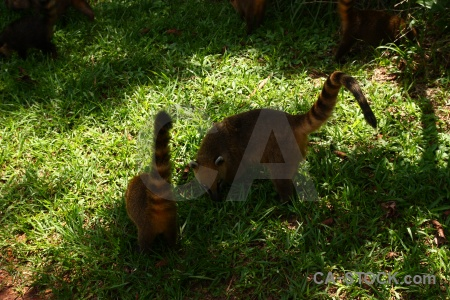 Raccoon argentina grass south america coatis.