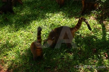 Raccoon argentina grass south america coatis.